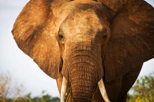 """The Tsavo Trust helps monitor giant """"tusker"""" elephants through aerial and ground reconnaissance, and works closely wit"""