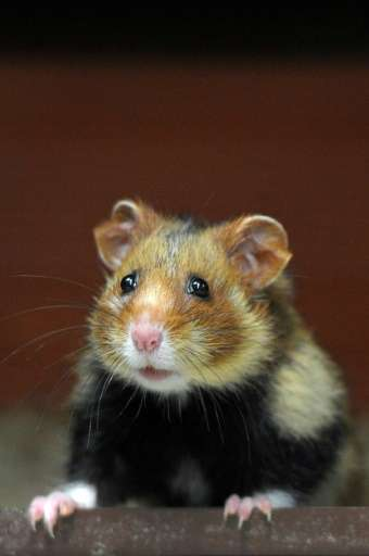 "The usually cute-and-cuddly hamsters ran in circles, ""climbing and pounding their feeders,"" when scientists entered th"