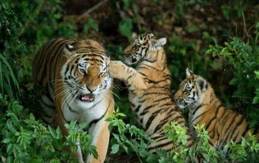 The WWF is providing $10 million (8.3 million euros) for the project to reintroduce Amur tiger into Kazakhstan