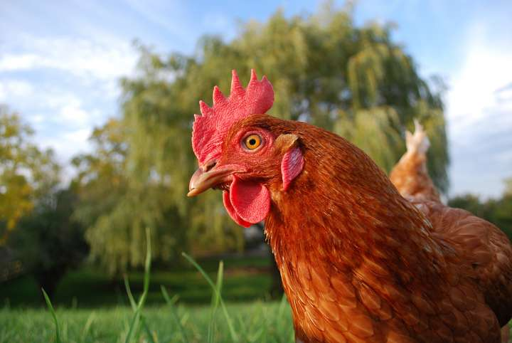 Think chicken -- think intelligent, caring and complex
