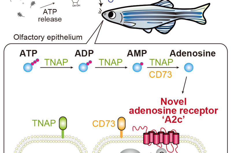 This nasal receptor mediates the appetizing smell of fish food