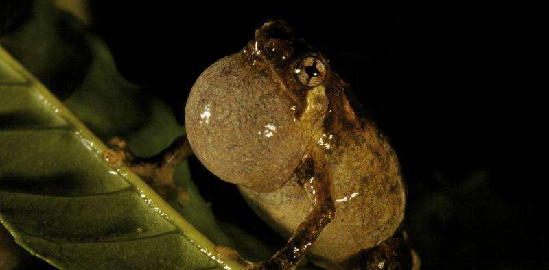 Tiny frogs face a troubled future in New Guinea's tropical mountains