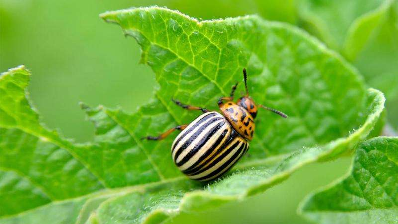 To protect crops, farmers could promote potato beetle cannibalism