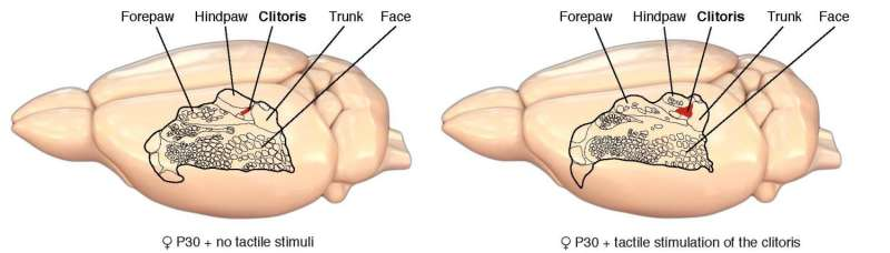 Touching helps build the sexual brain