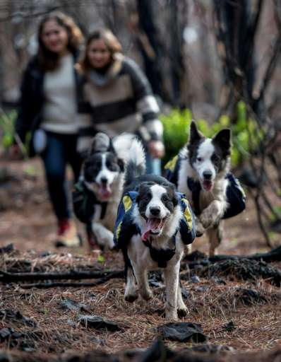 Trained Border Collies run through a forest devastated by massive fire, sowing tree seeds that fall to the ground from their spe