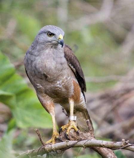 Translocated hawks thrive in Hispaniola