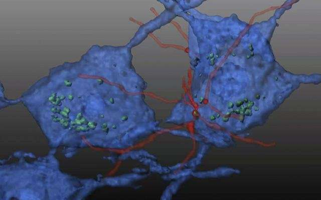 Transplanted hematopoietic stem cells reverse damage caused by neuro-muscular disorder
