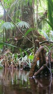 Tropical trees maintain high carbon accumulation rates into old age