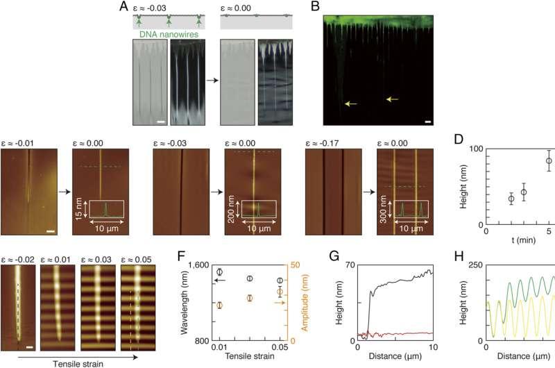 Tunable DNA nanowires