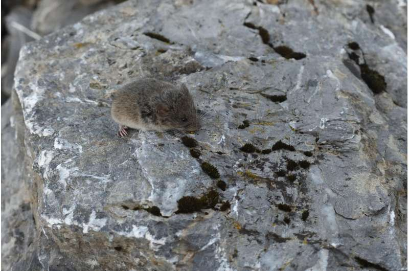 Turns out, bigger isn't always better: Why snow voles haven't evolved to be giants