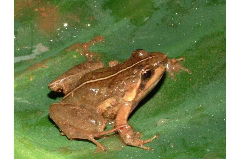 Twenty-five frogs added to the amphibian fauna of Mount Oku, Cameroon
