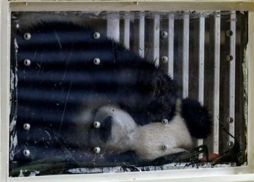 Two-year-old giant panda cub Nuan Nuan, the first to be born in Malaysia, is seen inside her enclosure before departing for Chen