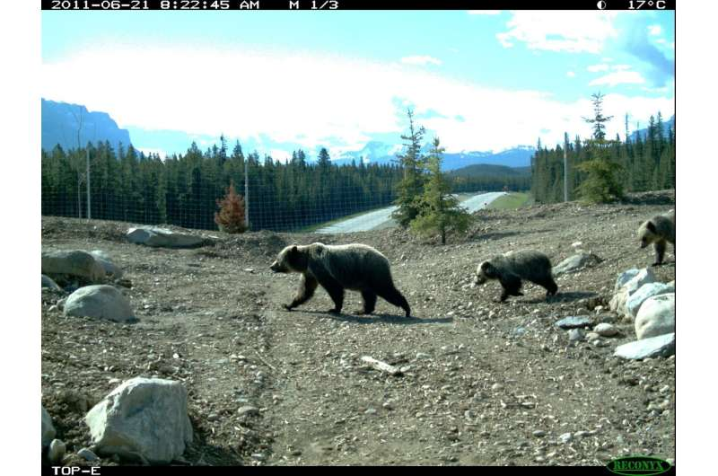 UBC study finds family-friendly overpasses are needed to help grizzly bears