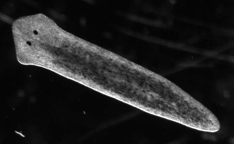 UC San Diego researchers explain the mechanism of asexual reproduction in flatworms
