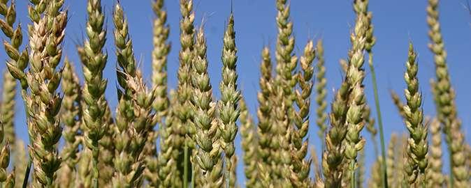 Unique wheat passes the test