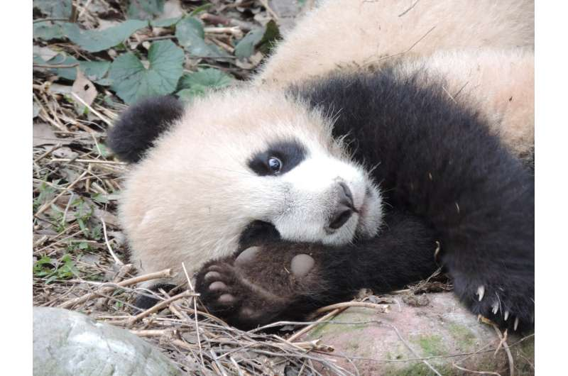 Using footprints to identify and monitor giant pandas in the wild