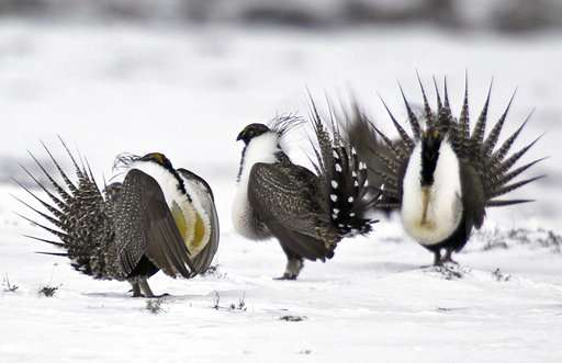 US sage grouse policy heading back to square one