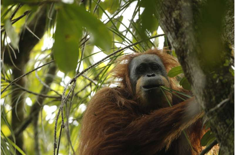 UZH anthropologists describe third orangutan species