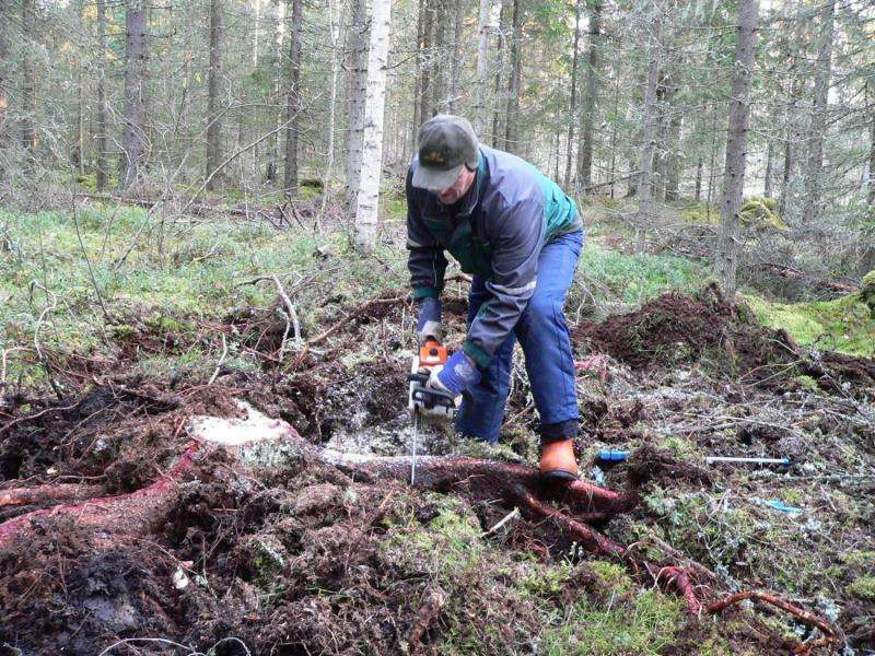Valuable substances extracted from conifer stumps and roots
