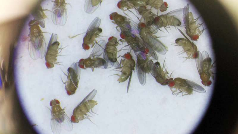 Variation at a central metabolic gene influences male fruit fly lifespan
