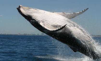 Verse by verse, whales learn songs like humans