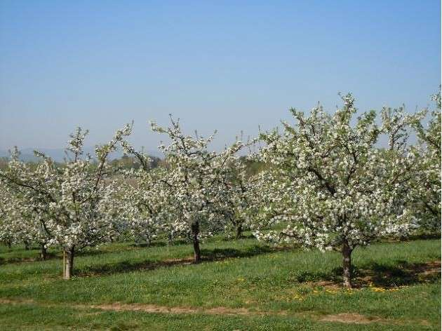 Warm winter has put state's apple crop at risk, expert warns