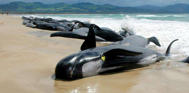 What causes whale mass strandings?