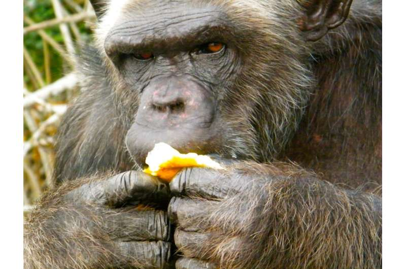 What grosses out a chimpanzee?