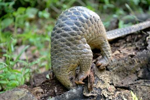 When touched, pangolins coil up into a ball so they are very easy to pick up. Pictured is a baby Sunda pangolin from Southeast A