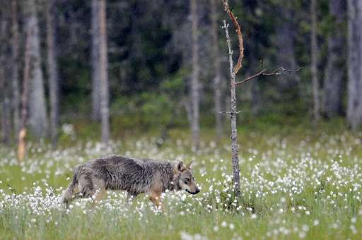 While just recently returning to Denmark, wolves are found in other Nordic countries