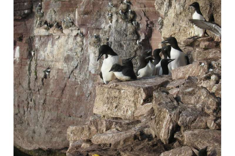 Why guillemot chicks leap from the nest before they can fly