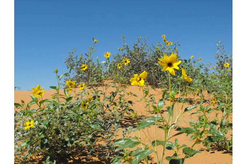 Wildly stronger sunflowers
