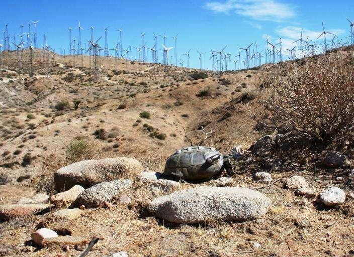 Wind turbines affect behavior of desert tortoise predators
