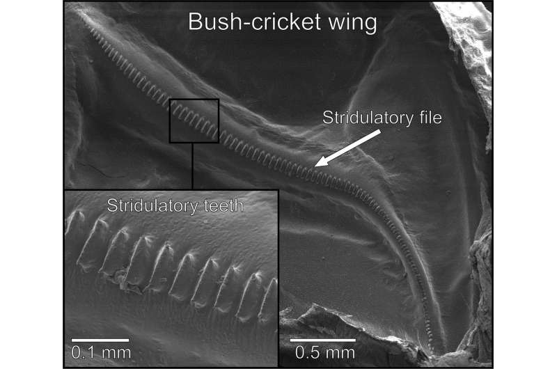 Wing structure vital in producing a range of tones in bush-cricket mating calls