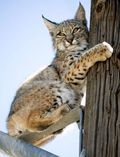 With populations thriving, are bobcats the next urban pest?
