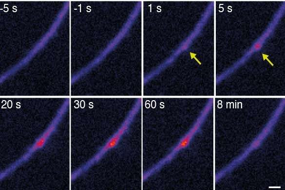 Witnessing the birth of a tiny RNA at brain synapses