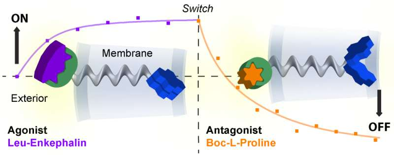 World-first synthetic receptor mimics how cells 'talk' to the world around them