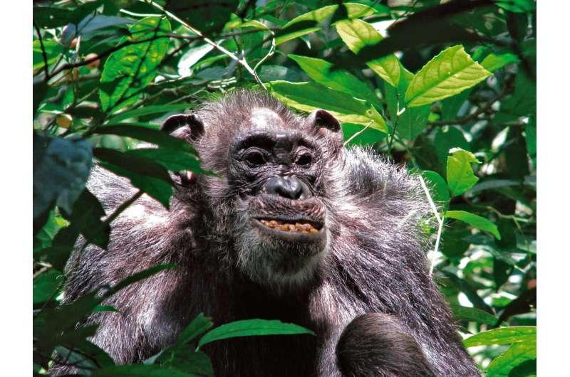 Yale-led study: Wild chimpanzees have surprisingly long life spans