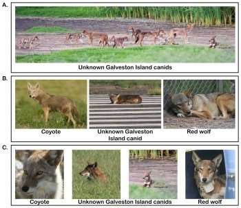 A future for red wolves may be found on Galveston Island
