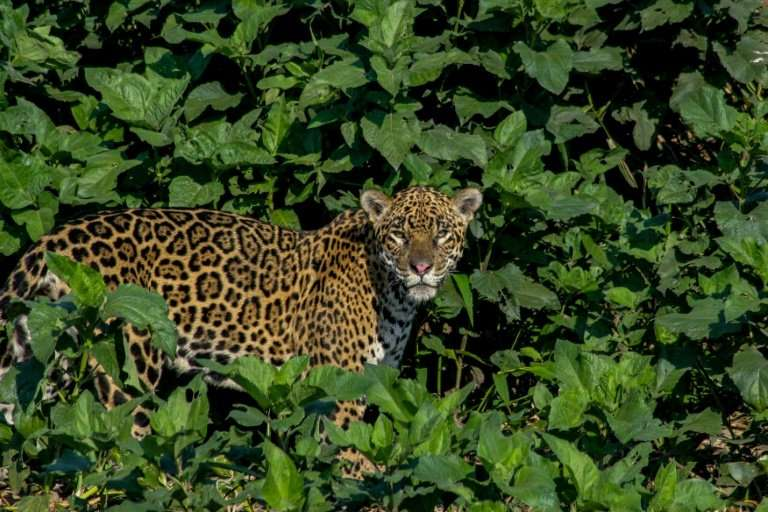 A handout photo showing a jaguar, which researchers believe number around 7,000 in Bolivia, but which are threatened by poaching
