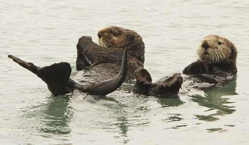Alaska dive fishermen plead for relief from sea otters