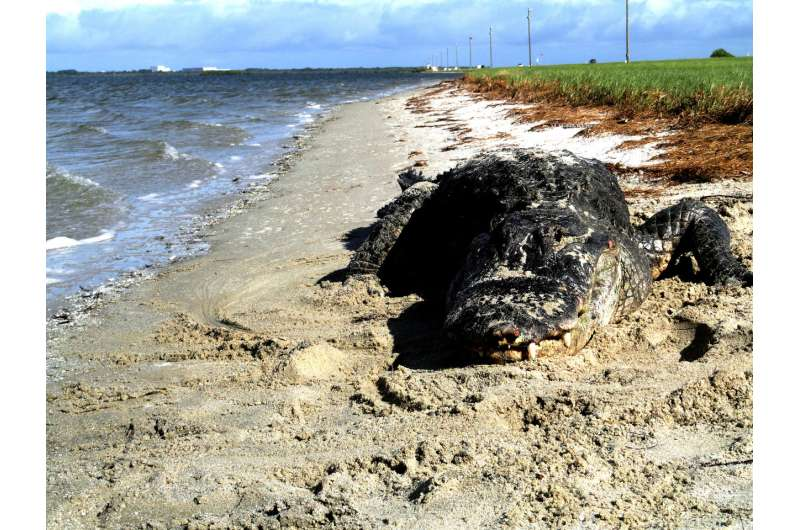 Alligators on the beach? Killer whales in rivers? Get used to it