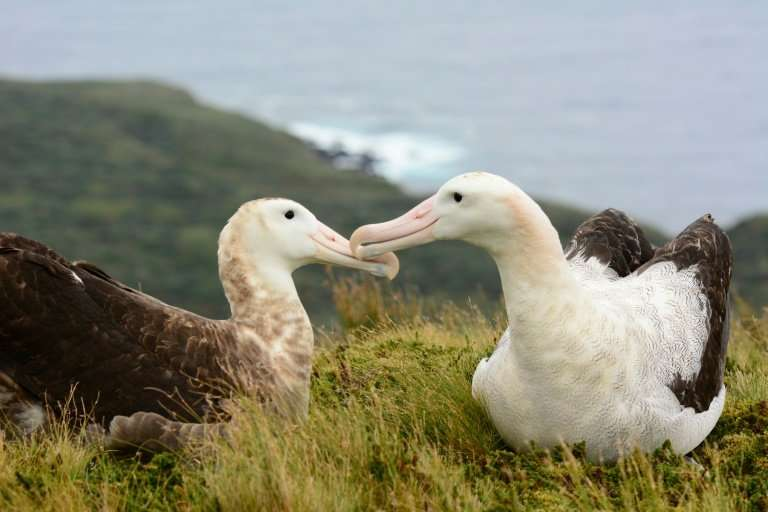 A picture released by the Royal Society for the Protection of Birds (RSPB) shows a pair of endangered Tristan albatross on Gough