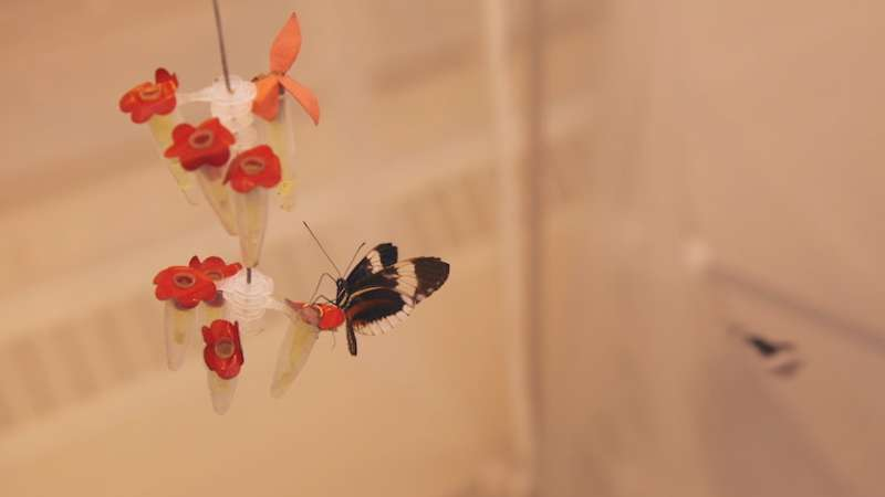 A single genetic switch changes butterfly wing color