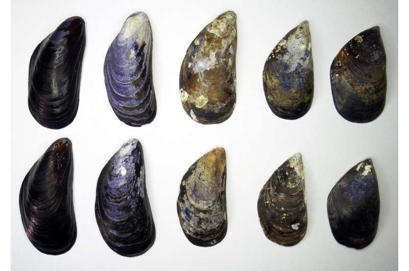 Blue mussel shape is a powerful indicator for environmental change