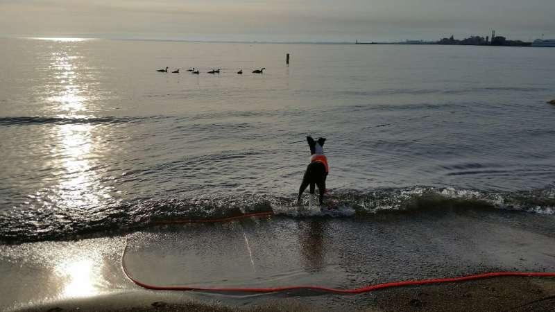 Cause of E. coli beach closings? Gulls