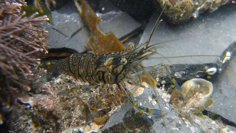 Cautious prawns win battle for food