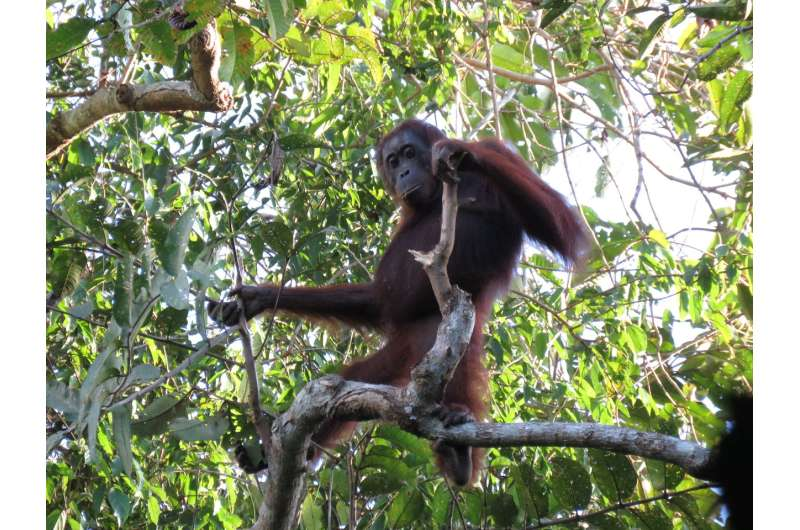Contrary to government report, orangutans continue to decline