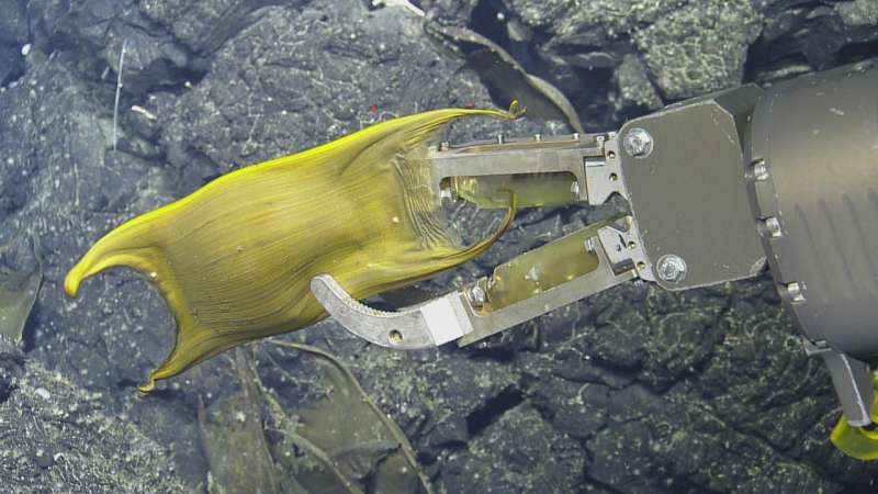 Deep-sea fish use hydrothermal vents to incubate eggs