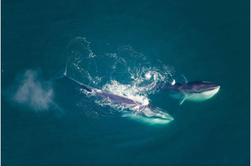 Diving deep into the blue whale genome reveals the animals' extraordinary evolutionary history